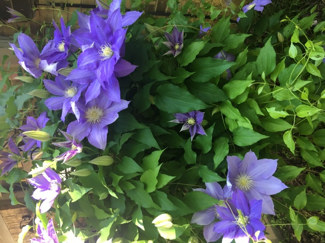 Clematis bloomed for the dogs